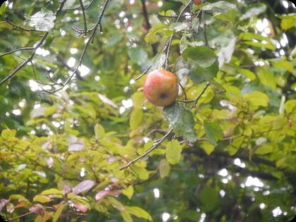 ドイツ  リンゴ