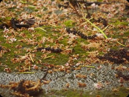 ドイツ テラス 苔 マロニエの花 雨