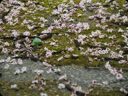 ドイツ テラス 苔 マロニエの花