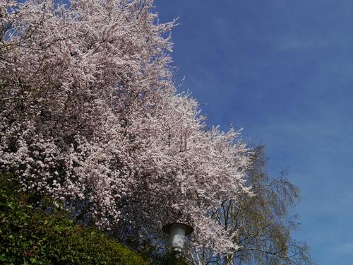 3月 ドイツ 桜