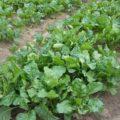 6月 ドイツ 畑の野菜