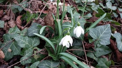 2月 春の花 ドイツ