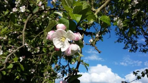 4月 ドイツ リンゴの花
